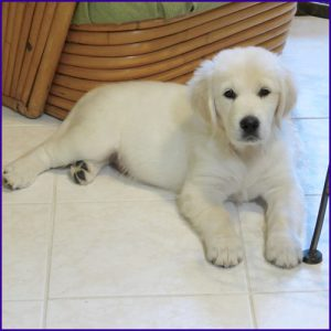 White Magic Golden Retrievers | White Magic Golden